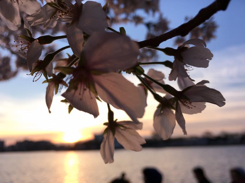 Cherry Blossoms at Sunrise-26.jpg