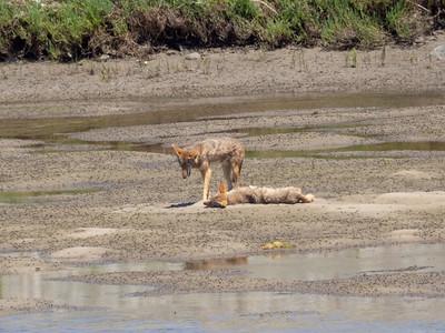 Coyotes June 26 2018