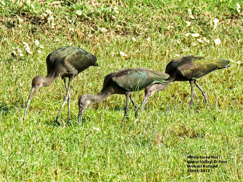 IMG_7429 3T 3 White-faced Ibis red eye our house.jpg