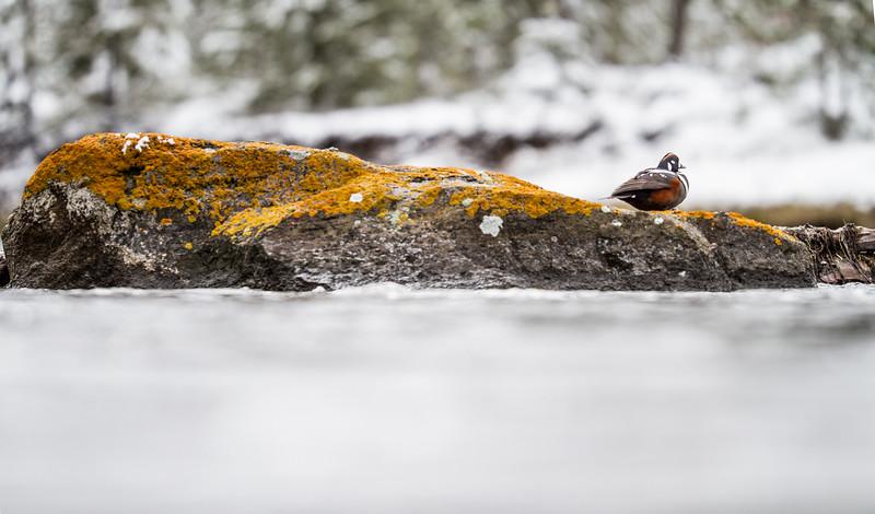 Harlequin Duck Madison River Yellowstone National Park WY IMG_0166.jpg