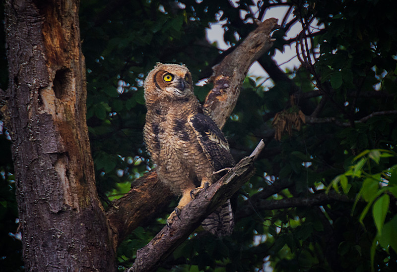 5.13.17 - Beaver Lake Fish Nursery: Great-Horned Owl