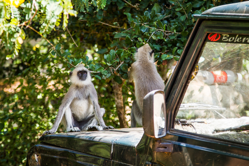 Grey Langur / Hanuman Langur, (Semnopithecus entellus) on a car bonnet, Yalla National Park, Sri Lanka