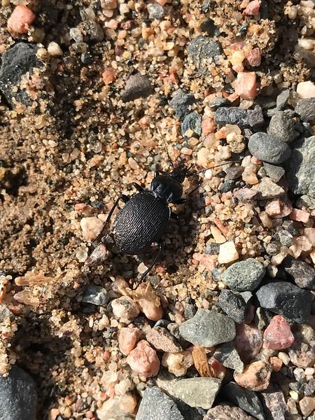 Ground Beetle Winterberry Bog Murphy Road Sax-Zim Bog MN IMG_1276.jpg