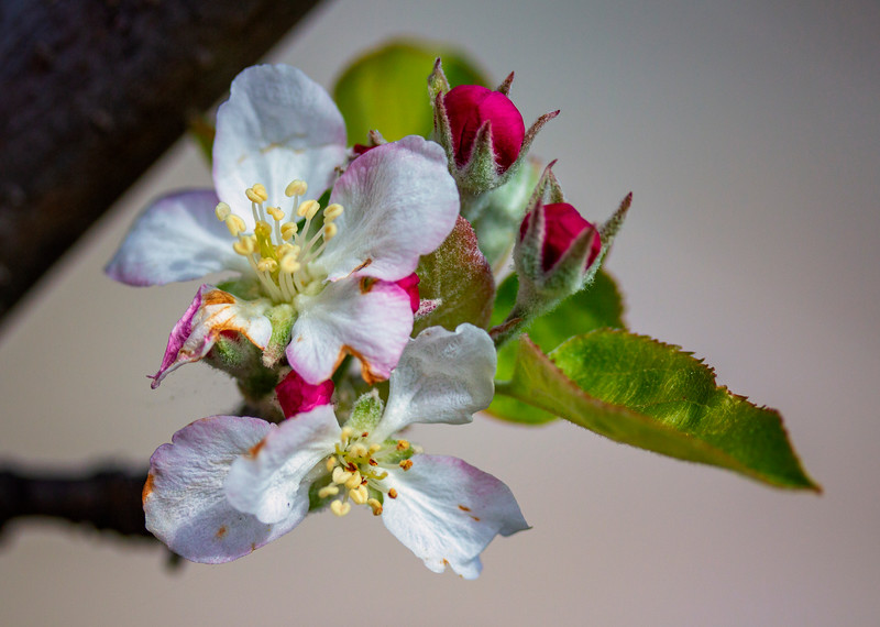 Spring apple blossoms1.jpg