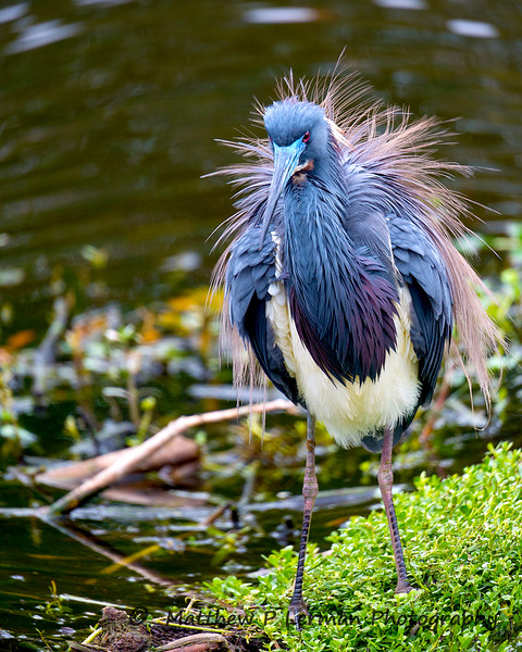 Display: Tricolored Heron  #908