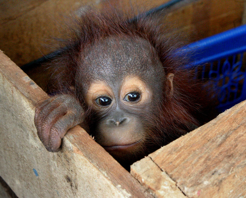 Description of . A three-month-old Orangutan baby (Pongo Pygmaeus Mario) peeks out from inside a wooden box in East Kutai, East Kalimantan province, on December 9, 2011 after being rescued after seperated from its mother. Expert say there are about 50,000 to 60,000 orangutans left in the wild, 80 percent of them in Indonesia and the rest in Malaysia. (FIRMAN/AFP/Getty Images)