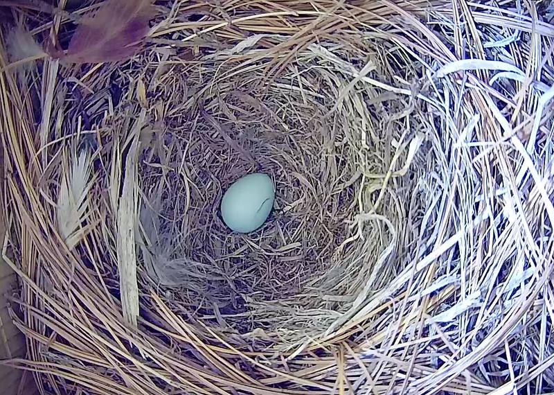 First Bluebird Egg of 2018
