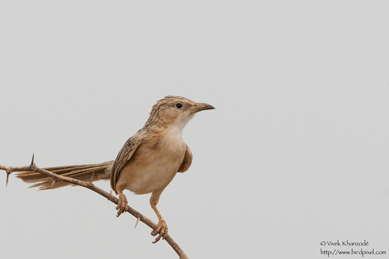 Singing Bushlark - Kutch, Gujrat, India