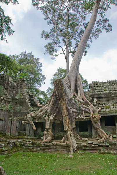 Isolated tree at the Angkor Wat ruins