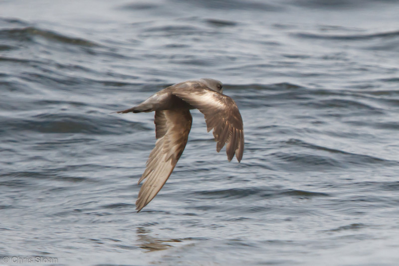 Ashy Storm-Petrel at pelagic out of Bodega Bay, CA (10-15-2011) - 363.jpg