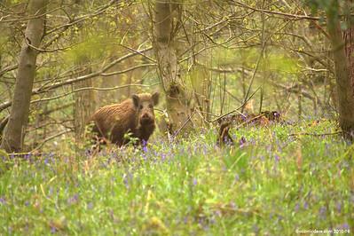 Wild Boar Set 4