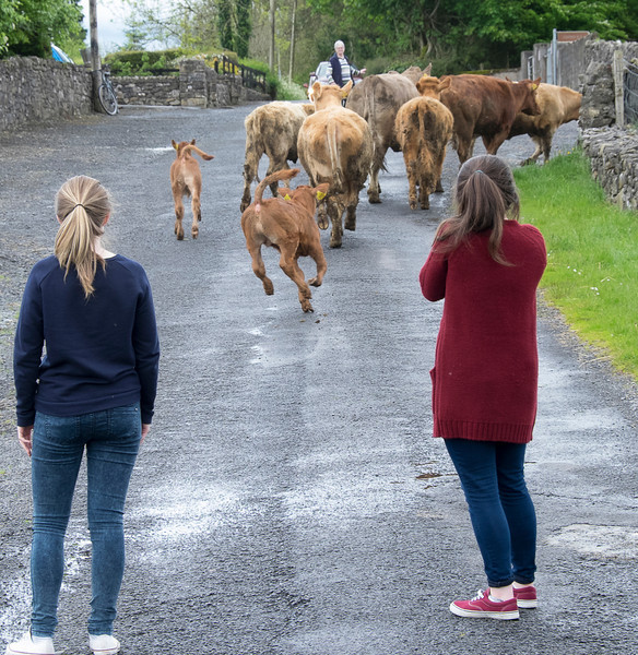 Emmet's cows on their way to their field.