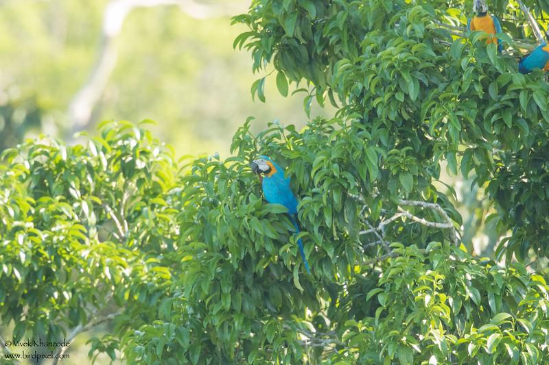 Blue-and-Yellow Macaw - Record - Amazon, Ecuador