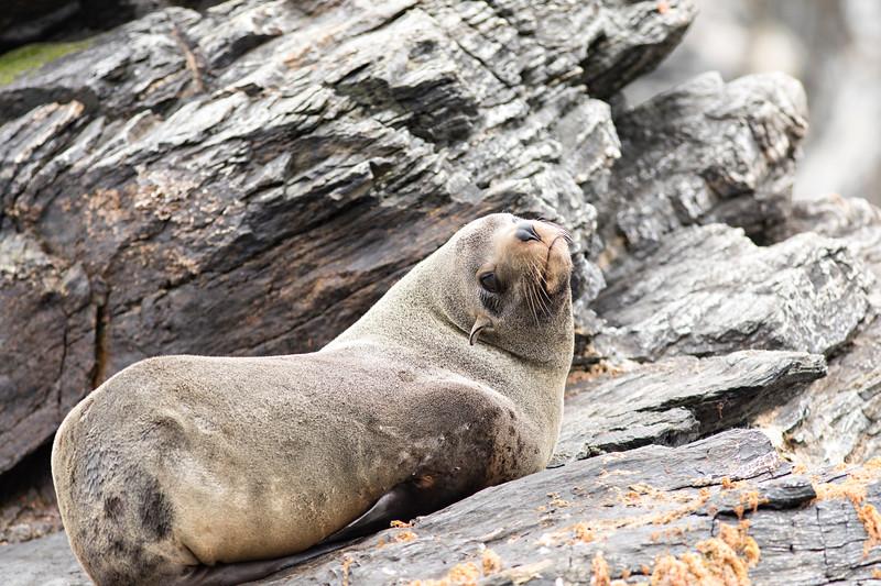 Chilean National Humbolt Penguin Reserve Isla Choros -  Sea Lion #4