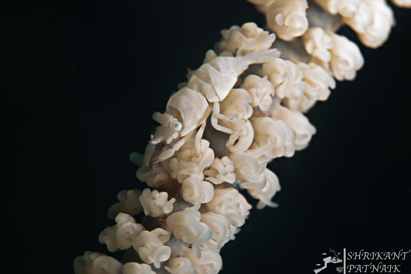Anker's Whip Coral Shrimp