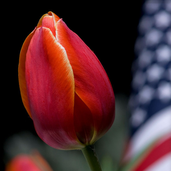 An American flag is planted in the soil next to a tulip in Ann Arbor, MI.  Fallen soldiers will be honored at services around the country on Memorial Day tomorrow, May 30, 2011.
