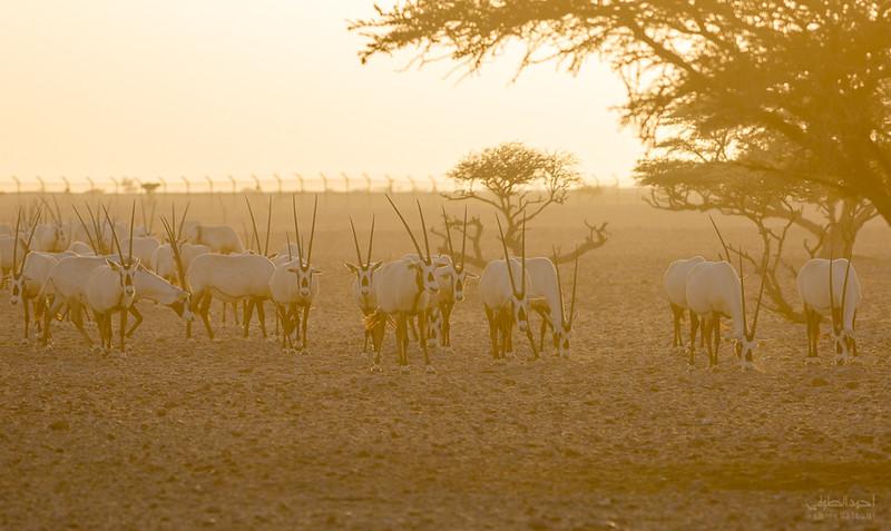 Arabian Oryx (53).jpg