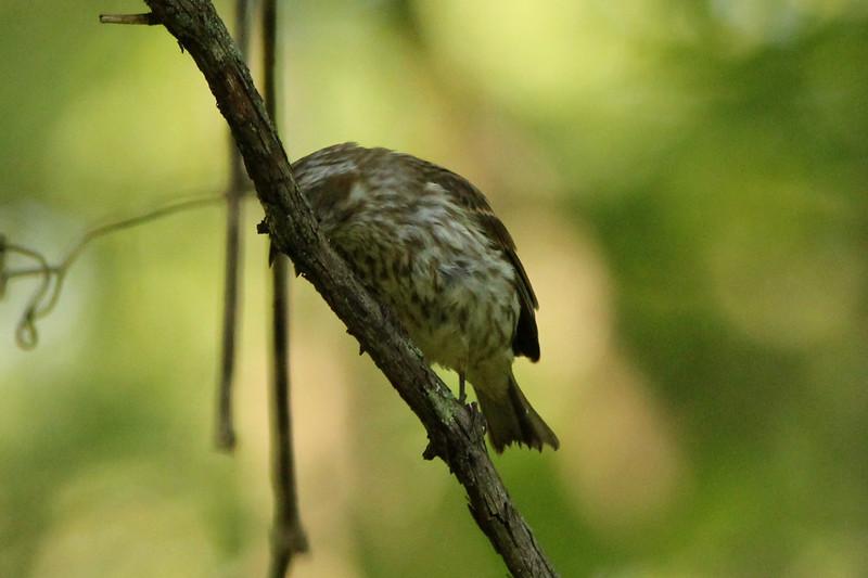 Purple Finch (Female) @ Lost Valley Trail