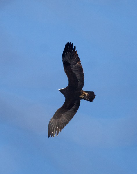 Golden Eagle 2nd year bird over Rock Pond Hill UMD Duluth MN IMG_8399.jpg