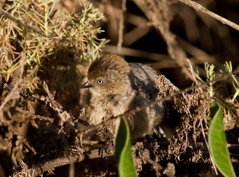 Bushtit Batiquitos Lagoon  2011 05 30-3.CR2