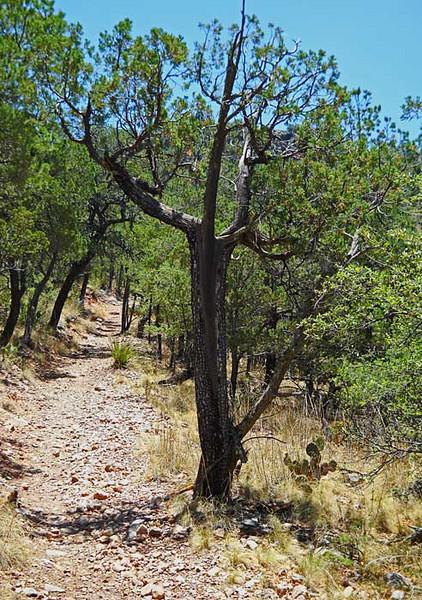 Shahman-Tree.jpg
