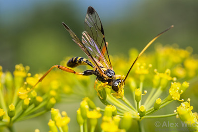 Spilopteron sp. - Ichneumon wasp