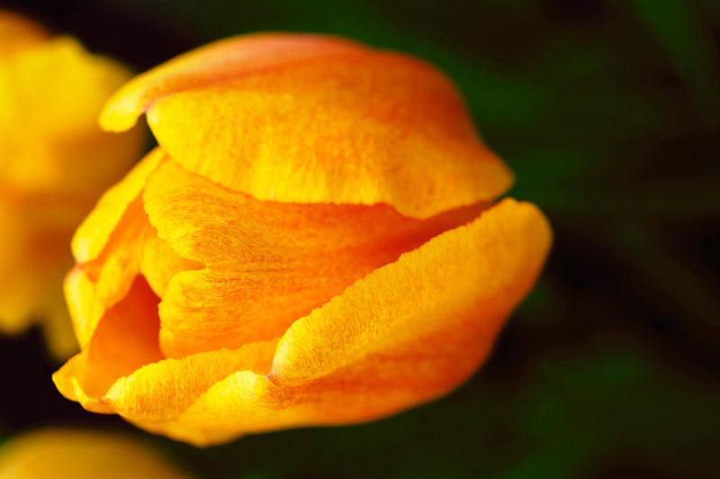 Shining tulip.jpg