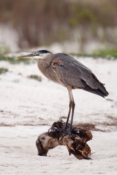Heron - Great Blue - St. George Island State Park, FL - 08