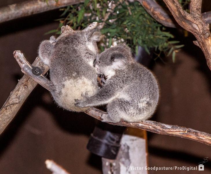 Koalafornia-39.jpg