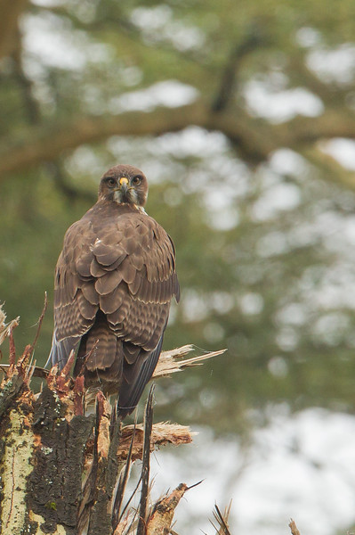 Juvenile Augur Buzzard - Lake Nakuru National Park, Kenya