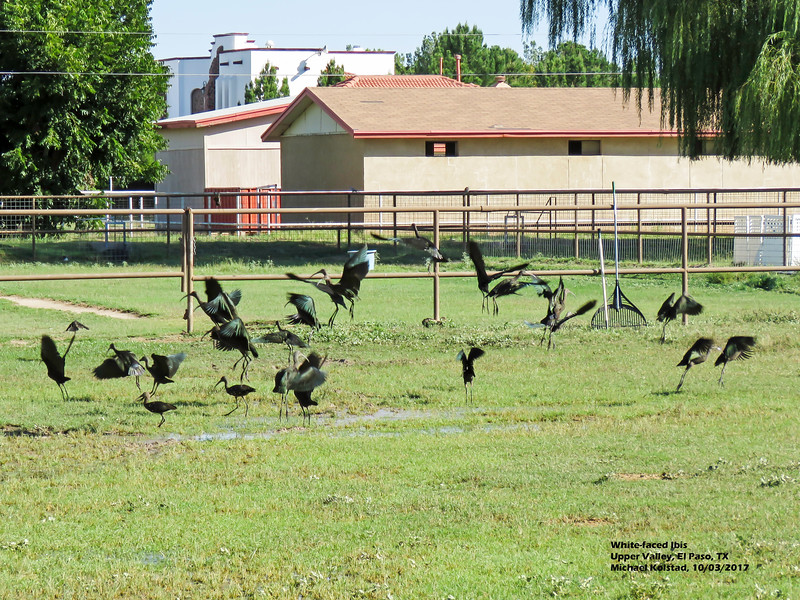IMG_7432 3T White-faced Ibis launching our house.jpg