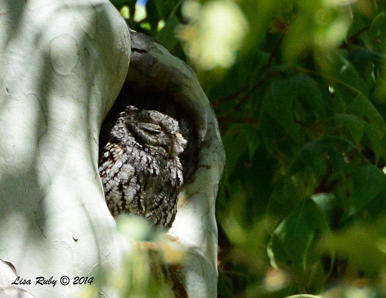 Whiskered Screech Owl - 4/21/2014 - Ramsey Canyon, Sierra Vista, Arizona