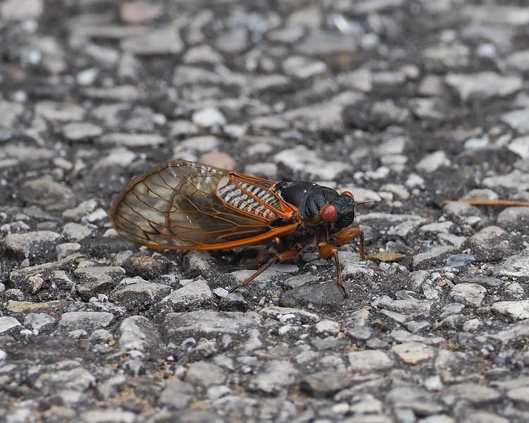 Cicada brood IX