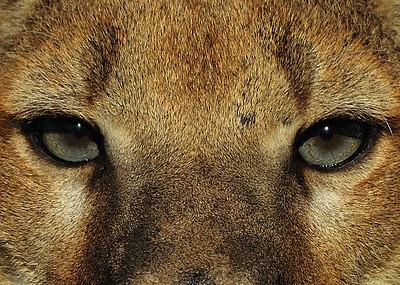 Mountain lion taken at Triple D outside of Kalispell Montana in 2010.
