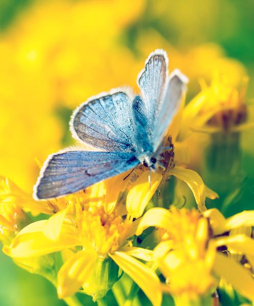 butterflyblueonyellowfinal.jpg