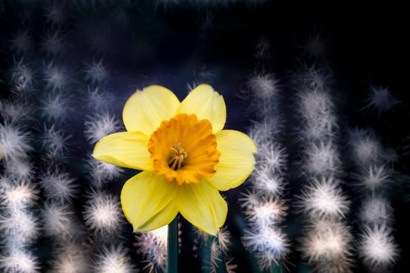 Daffodils032819-85.jpg