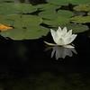 Water Vegetable or Aquatic Herb ?