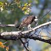 Osprey - Bella Coola, BC