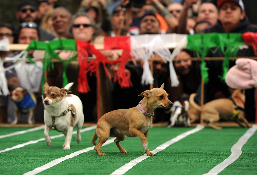 . Chihuahuas seem a bit perplexed on the race course as owners on both ends of the race track yell at them towards the finish line during the 3rd annual Chihuahua Race on a course set up at the Center of the Park on May 5th, 2013.  The top prize for this year\'s winner was $500. The annual Cinco de Mayo celebration took place at Civic Center Park on May 5th, 2103 in Denver, CO.  Highlights this year were local traditional dancing, a taco eating contest , local bands playing traditional mexican music and Chihuahua dog racing where 132 dogs raced for the top prize of $500.(Photo by Helen H. Richardson/The Denver Post)