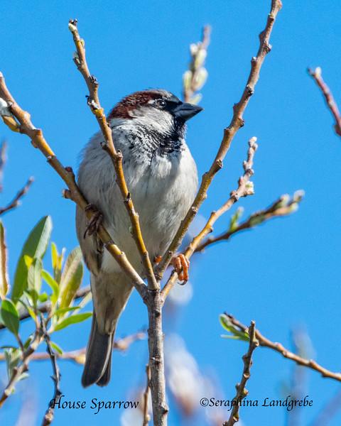_DSC3792House Sparrow.jpg