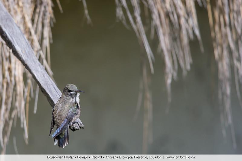 Ecuadorian Hillstar - Female - Record - Antisana Ecological Preserve, Ecuador