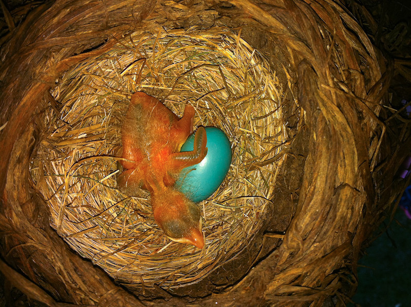 Robin Chick and Egg - Under Our Deck