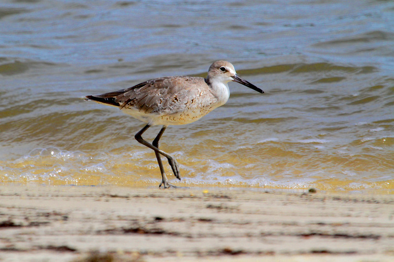 Willet, St. Joe Bay, FL.
