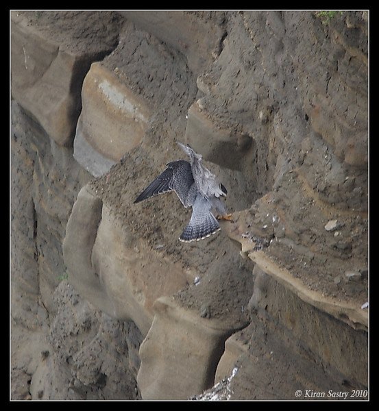 Peregrine Falcon landing on the cliffs, La Jolla Cove, San Diego County, California, February 2010