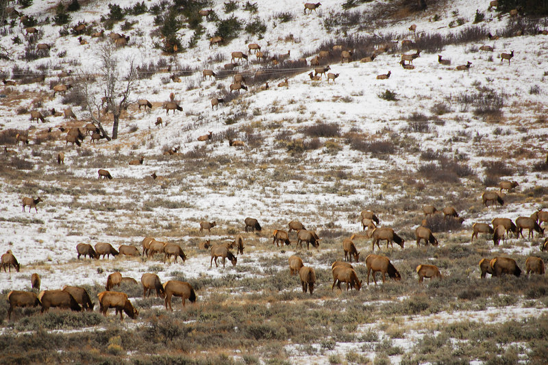 Elk herds   (Dec 12, 2006, 02:10pm)  Seen along the National Elk Refuge Road, just north of Jackson, Wyoming.