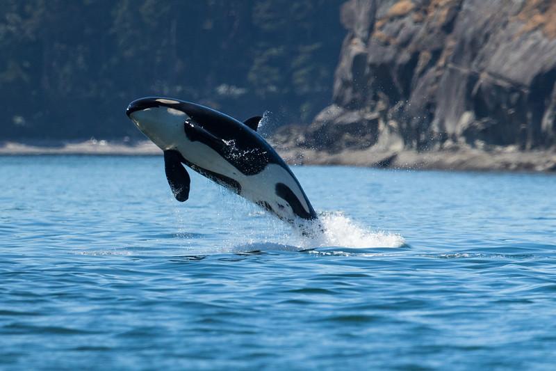Orcas -  073115-164-Edit.jpg