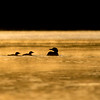 Common loon, Gavia immer, family at sunrise near Stony Plain, Alberta, Canada.