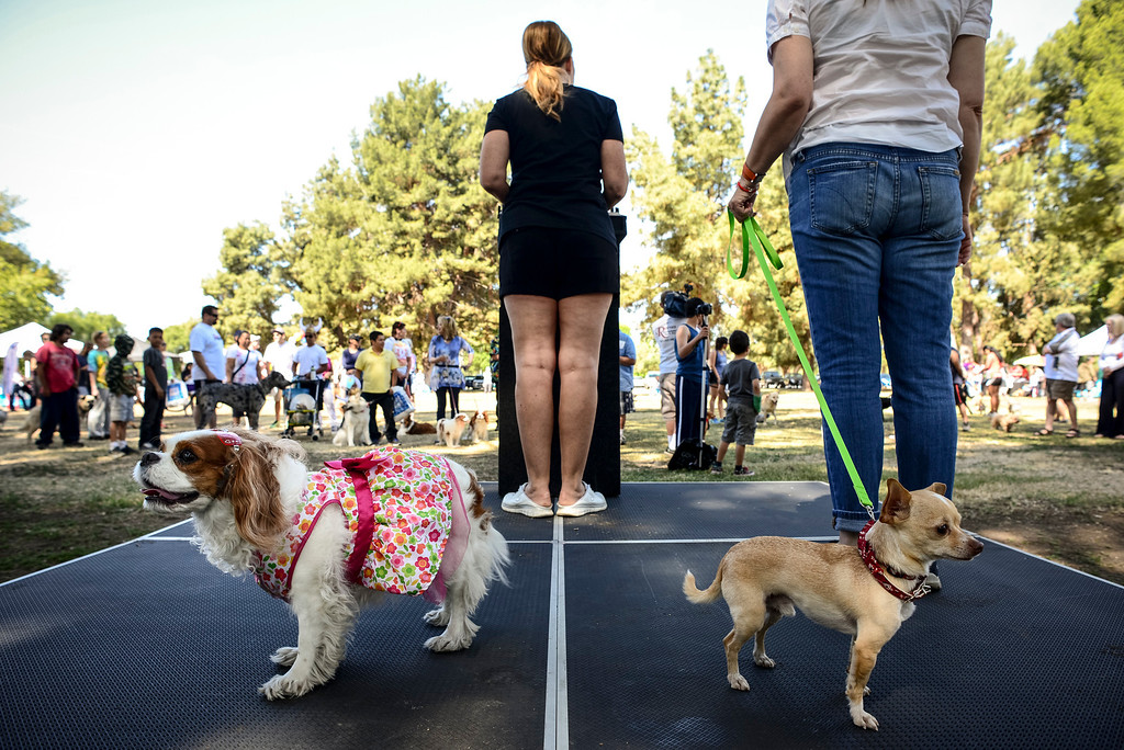 ". ""Sophie\"" and \""Kiki\"" share the stage with their owners, Wendy Burch of KTLA AND Christine Divine of Fox at Pawsapalooza at Woodley park in Van Nuys Sunday, May 4, 2014.    (Photo by David Crane/Los Angeles Daily News)"