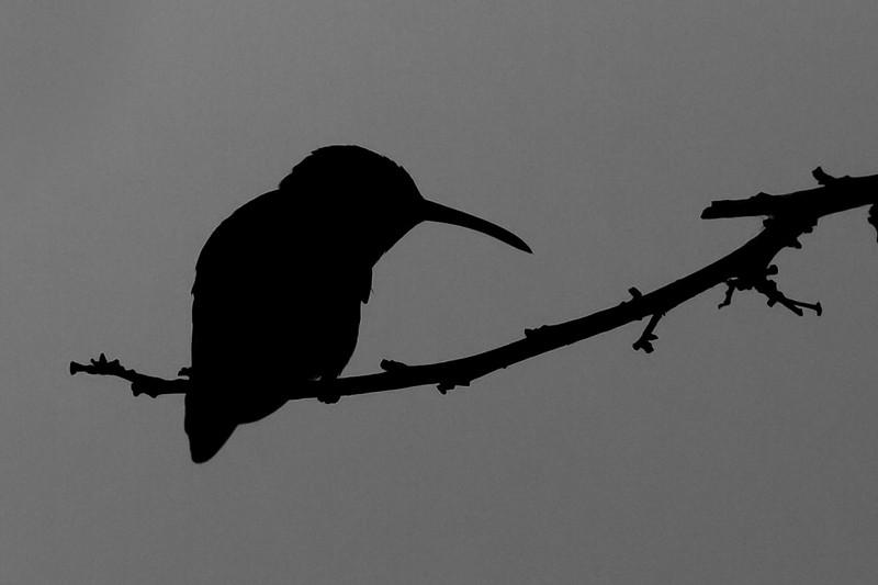 Rufous-Tailed-Hummingbird-Silhouette-2010-01-0028.jpg