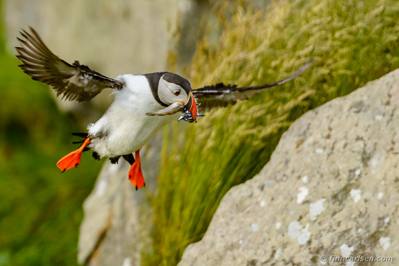 Lunde (Fratercula arctica - Atlantic puffin)